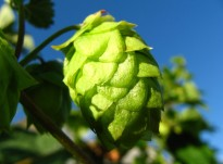 cropped-hops-flower.jpg