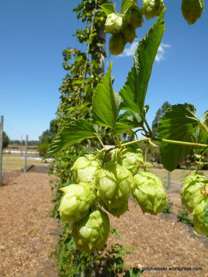 Hops at Cowaramup Brewing in 2013