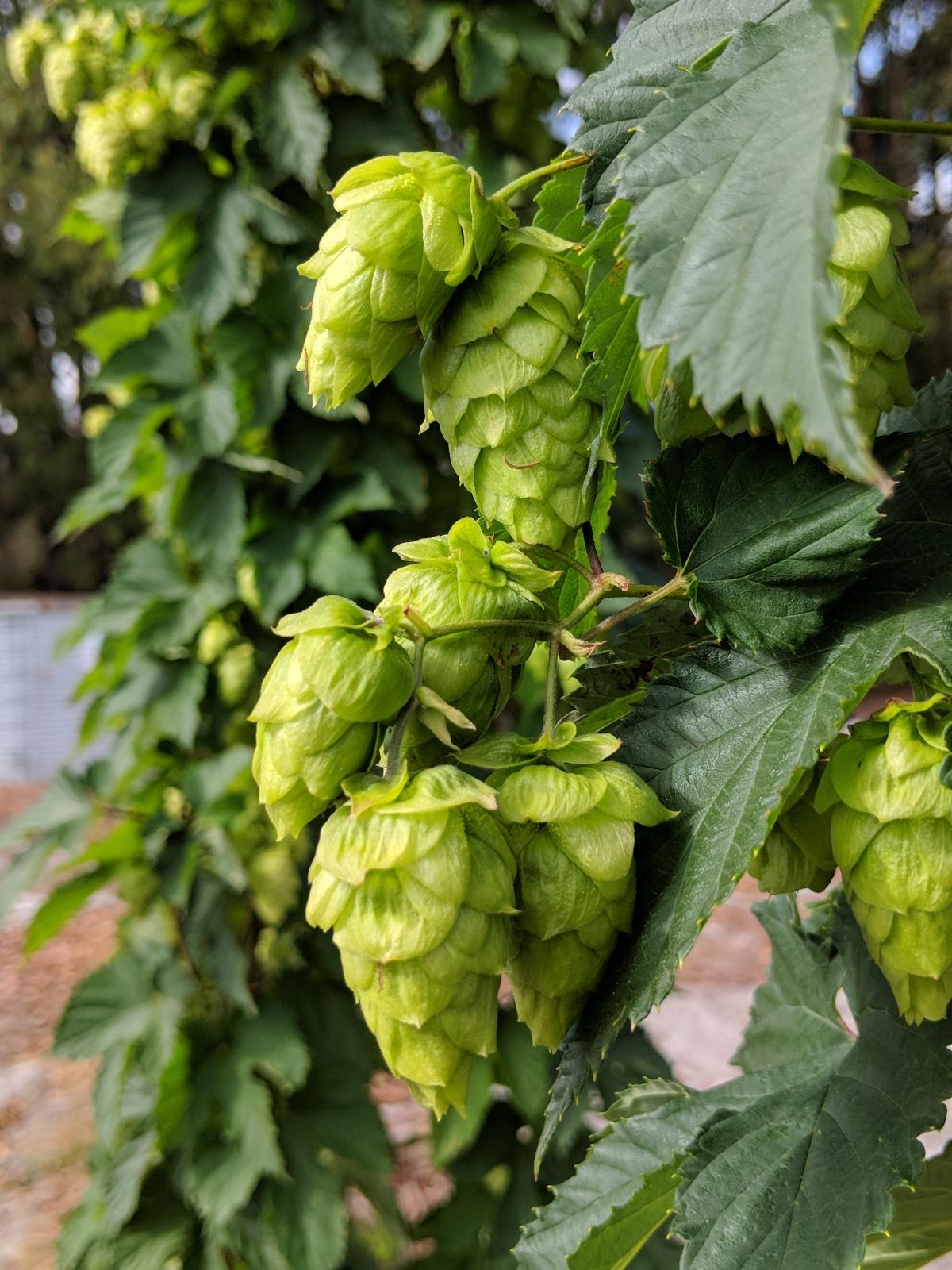 Snapshot: Hop Harvest